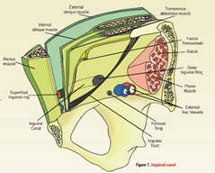 Figure 1: Inguinal Canal